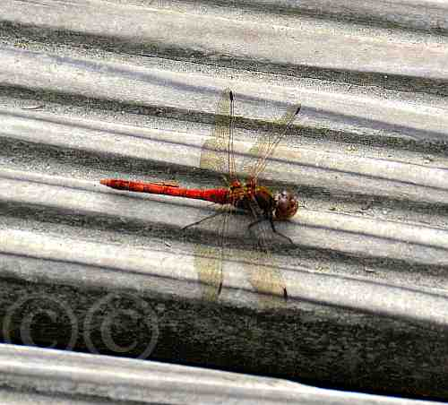 0227-Blutrote Heidelibelle-Drover Heide