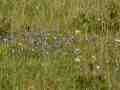 0226-Pfirsichblättrige-Glockenblume